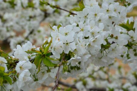 El cerezo en flor
