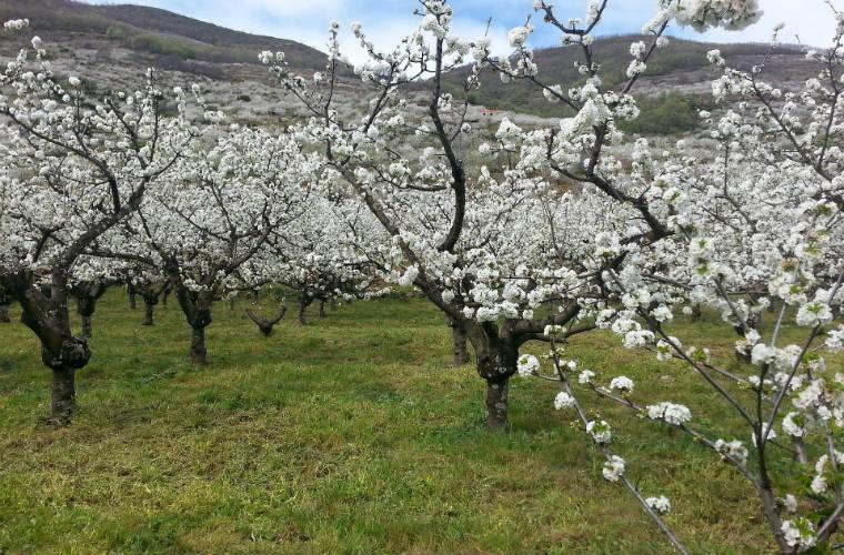 El valle de Jerte florece